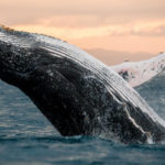 cabo-whale-watching